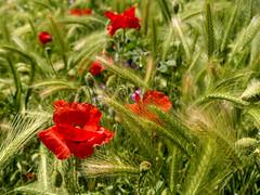 Finally found some 😊 (Catwards - it's a struggle keeping up) Tags: poppyfields poppies poppy barley
