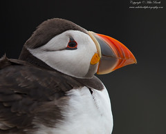 Atlantic Puffin (Fratercula arctica) (www.mikebarthphotography.com 2M Views thanks !) Tags: fraterculaarctica atlanticpuffin