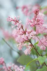 037 J WM (M.Christine Duncan) Tags: lilacs canada hamilton ontario plantlife nature ohcanada mood springtime myhamilton softfocus naturephotographer dslr nikond80 nikonworld