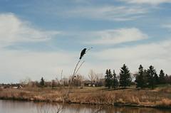 Redwing Blackbird (Jennaasucks) Tags: nikon nikonfe film shootfilm kodakfilm filmisnotdead landscape nature birdphotography