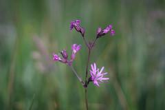 Freitagsblümchen (photalena) Tags: carlzeissjenatessar2850 nature pinkflower wildflower