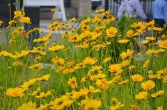 Wildflowers At Firestone Library (Joe Shlabotnik) Tags: reunions2019 reunions 2019 princeton yellow princetonreunions flowers june2019 afsdxvrzoomnikkor18105mmf3556ged