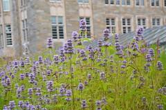 Wildflowers At Firestone Library (Joe Shlabotnik) Tags: firestone purple reunions2019 reunions 2019 princeton princetonreunions library flowers june2019 afsdxvrzoomnikkor18105mmf3556ged