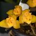 Lycaste aromatica – Judy Dyer