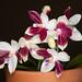 Phalaenopsis speciosa – Debbie Amis