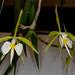 Epidendrum parkinsonianum – Alex Nadzan