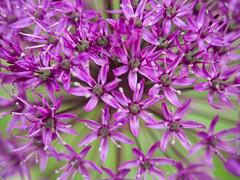 Garlic flower closeup (sepherro) Tags: flower flowers flowering flora plant plants purple garlic