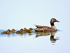 Getting Her Ducks In A Row (Meryl Raddatz) Tags: duck mallard water lake nature naturephotography wildlife canada