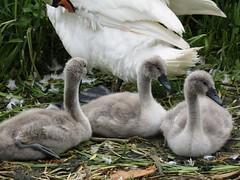 babies  <3 (belight7) Tags: cygnets family swan riverside uk nature england