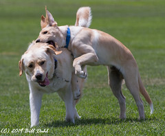 1009- Reno and Rocky (Bill Dahl 3 MILLION+ Views Club) Tags: allrightsreserved billdahl canon7d photographybybilldahl httpswwwbilldahlnet copyright2019 reno renodahl rocky rockydahl goldenlabpuppy goldenlab goldenlabrador billdahlphotography billdahlphotographer billdahlnet petphotography petportraits pets dogphotography dogs doglife