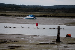 HTR: Wellow to Hamstead | Newtown Harbour (Carneddau) Tags: canadageese hamsteadtrail isleofwight newtownharbour wellowtohamstead birds
