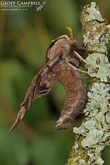 Eyed Hawk-moth (Smerinthus ocellata) (gcampbellphoto) Tags: eyed hawkmoth smerinthus ocellata moth insect macro nature wildife north antrim northern ireland gcampbellphoto