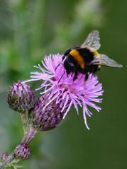 Busy Bumblebee (Uhlenhorst) Tags: 2019 germany deutschland bavaria bayern plants pflanzen flowers blumen blossoms blüten animals tiere