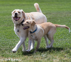 1011- Reno and Rocky (Bill Dahl 3 MILLION+ Views Club) Tags: allrightsreserved canon7d billdahl photographybybilldahl httpswwwbilldahlnet rocky reno copyright2019 renodahl pets dogs goldenlab dogphotography petportraits petphotography doglife goldenlabrador goldenlabpuppy billdahlphotography billdahlphotographer billdahlnet rockydahl