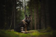 Ceppe (Photography Ilona Mikkonen) Tags: wolf dog dogphotography dogphotographer canon hund photography photoshoot pet petphotography green