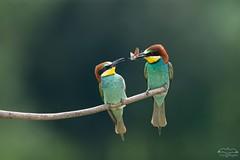 Offrande-2 (mirage 31) Tags: coraciiformes europeanbeeeater guêpierdeurope hautegaronne meropsapiaster méropidés bird offrande oiseau