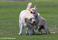 1006 - Reno and Rocky (Bill Dahl 3 MILLION+ Views Club) Tags: allrightsreserved canon7d billdahl photographybybilldahl httpswwwbilldahlnet rocky reno copyright2019 renodahl pets dogs goldenlab dogphotography petportraits petphotography doglife goldenlabrador goldenlabpuppy billdahlphotography billdahlphotographer billdahlnet rockydahl