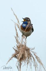 Bluethroat / Blauwborst / Luscinia svecica (Jambo53 ()) Tags: blauwborst crobertkok bleuthroat bluethroat reed riet naturereserve netherlands nederland holland