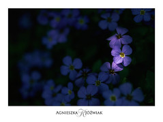 Fioletowe (smoothna) Tags: flowers spring smoothna macro d90 nature shadowslight straightfromcamera