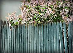 ~Happy fence Friday, y'all!~ (nushuz) Tags: hff happyfencefriday bluefence liacs neighbors lateboomers pinkishcoloredlilacs itsbeenawhile wavinghelloflickrfriends gettingtiredoftherainsigh