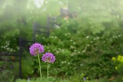 Petites fleurs mauves - HFF (Lucien-Guy) Tags: hff fleurs flowers dslr jardin garden fence clôture friday bokeh arbres trees d750 nikon mauve