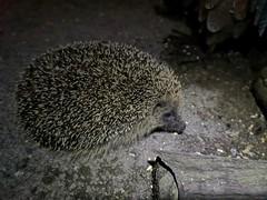 Hedgehog (Simply Sharon !) Tags: hedgehog nocturnal animal nature inthegarden gardenvisitor