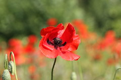 red poppy (bugman11) Tags: poppy flower flowers flora canon 100mm28lmacro bokeh nature nederland thenetherlands haarlem red spring macro