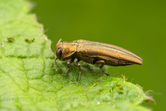 Rose Stem Girdler (Agrilus cuprescens) (cholmesphoto) Tags: agrilinae agrilini agrilus agrilusaurichalceus agriluscuprescens agrilusrubicola animalia animals arthropoda arthropods bronzecaneborer buprestidae buprestoidea coleoptera hexapoda hexapods insecta insects metallicwoodboringbeetles polyphaga rosestemgirdler animal beetle beetles bug insect nature wildlife
