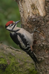 Juvenile Great Spotted Woodpecker (cazalegg) Tags: woodpeckers great spotted birds nature nikon d500 scotland woods forests