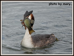 Grebe with dinner (maryimackins) Tags: great crested grebe fish wildlife kent mary mackins