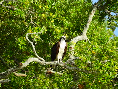 Osprey's Fish Dinner (Jim Mullhaupt) Tags: osprey fish liveoak bird water pond lake swamp wildlife nature landscape background wallpaper outdoor bradenton florida manateecounty nikon coolpix p900 jimmullhaupt photo flickr geographic picture pictures camera snapshot photography nikoncoolpixp900 nikonp900 coolpixp900