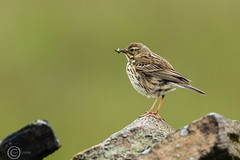 Wildlife 30th May 2019 017 - Takeaway meal (Mark Schofield @ JB Schofield) Tags: huddersfield yorkshire meltham marsden slaithwaite pennine wildlife bird animals brown hare wren meadow pipit golden plover snipe