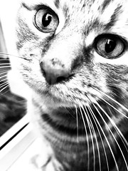 57/365 B&W Ginger Boy (Gingernutty Photography) Tags: blackandwhite bw cats cat tabby tabbycat iphone iphonephotography iphonexsmax