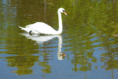 swan (Kirlikedi) Tags: animal ballet beak beauty charisma dignity double habitat hair itching lake love nationalpark natural neck observation palette park pond puddle reflection show spectacular spouse stance swan swim swimmer water wave wild wildfield wildlife wing