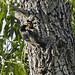 European Starling feeding chick in nest