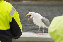 Complaining about the service (Svein K. Bertheussen) Tags: gråmåke larusargentatus europeanherringgull lofoten nordland norge norway fugl bird nature natur dyreliv wildlife