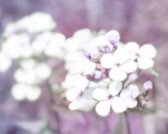 little white flowers on lavender (Hal Halli....happy everything!!) Tags: flowers spring floral nature lavender purple wallart
