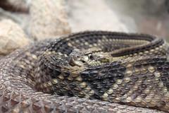 IMG_2212 (edited) (kamccarthy2) Tags: costa rica snake