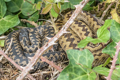 Adders view 1 (Matchman Devon) Tags: adder viper berus tobys path south hams devon ringmore
