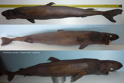 SOMNIOSUS ROSTRATUS. SLEEPER SHARK TAXIDERMY