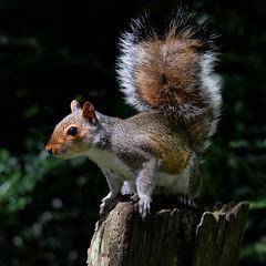 Grey Squirrel (johnlauper) Tags: hampdenpark mammal animal squirrel greysquirrel fur