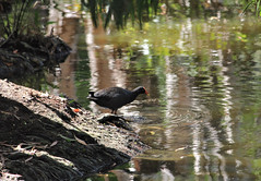 This swamp-hen is very wary - these are crocodile infested waters! (Pamela Jay) Tags: purpleswamphen bird animal water australia queensland flickr pamelajay canon nature naturephotography
