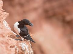 Tordalk (wernerlohmanns) Tags: wildlife wasservögel nordsee northsea natur outdoor alkvögel tordalk lummenfelsen deutschland helgoland d750 nikond750 sigma150600c schärfentiefe