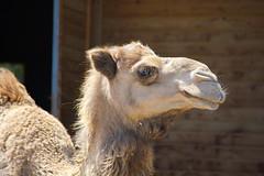 camel (Kirlikedi) Tags: camel hump victim sacrificezoo animal wildlife clay head trip transport bighead ear eye prisoner sacrificial religion desert arab arabianpeninsula hoof