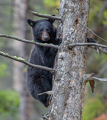 American Black Bear, Ursus americanus, up in a tree, Yellowstone National Park (Donald Quintana Nature Photography) Tags: omnivore ursusamericanus cute carnivore nationalpark kingscanyon yellowstone nationalparks blackbear wild wildlife tree forest northamerican yellowstonenationalpark mammal wyoming