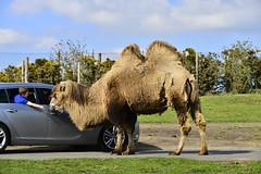 West Midlands Safari Park, Bewdley 18/04/2019 (Gary S. Crutchley) Tags: west midlands safari park bewdley worcestershire animals lion zebra cattle giraffe buffalo uk great britain england united kingdom nikon d800 travel raw penguin locust elephant camel
