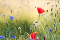 Mohnblume (patrickhollenstein) Tags: flower flowers spring summer grass light nikon nikond800 nature natur