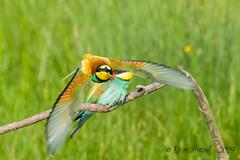 06062019-sDSC_8110 (Eyas Awad) Tags: eyasawad nikond800 nikond4 nikond500 sigma500f45 nikonafs300mmf4 tamron70200mmf28 nikkor200400mmf4 bird birds birdwatching wildlife nature gruccione meropsapiaster