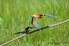 03062019-sDSC_5860 (Eyas Awad) Tags: eyasawad nikond800 nikond4 nikond500 sigma500f45 nikonafs300mmf4 tamron70200mmf28 nikkor200400mmf4 bird birds birdwatching wildlife nature gruccione meropsapiaster