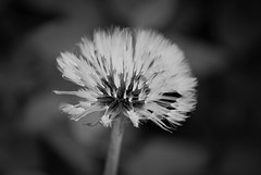 monochrome dandelion (EllaH52) Tags: plant flower dandelion nature summer faded bokeh macro blackwhite monochrome greyscale minimalism simplicity